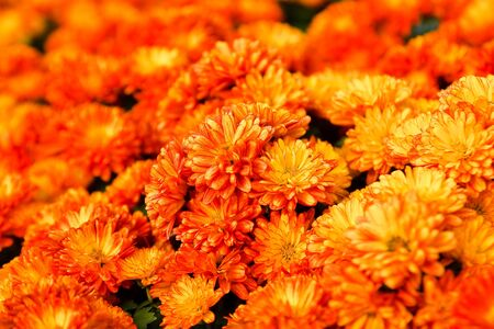 Orange pot marigold Stock Photo - 12032738