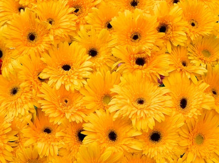 Orange pot marigold Stock Photo - 12032782