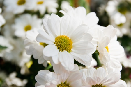 white marigolds photo