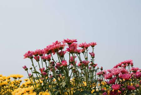 pink chrysanthemum flowers photo