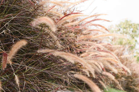 cane plumes: Grass Plumes