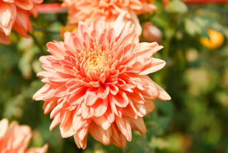 the beautiful of Chrysanthemum flowers photo