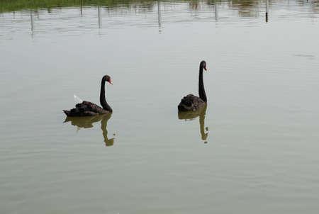 Black Swans photo