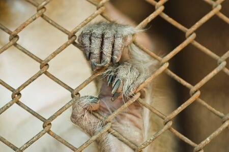 handed gibbon: handed Gibbon in the cage