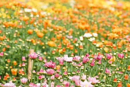 Beautiful yellow chrysanthemum flowers Stock Photo - 13002336