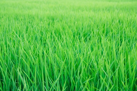 Green seedlings of cereal crops in the field photo