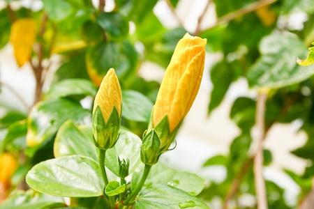 Yellow Hibiscus flower photo