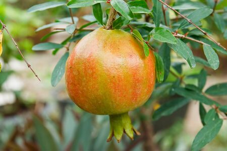 Ripe pomegranate on the branch  Stock Photo - 13203081