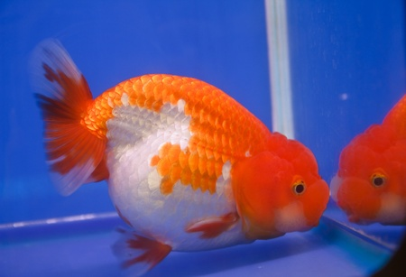 goldfish photo