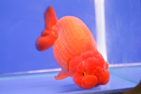 jelly head: goldfish Stock Photo