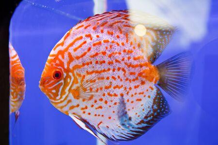 Discus fish Stock Photo - 15501233