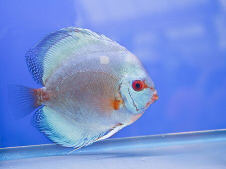 Discus fish Stock Photo - 15501230