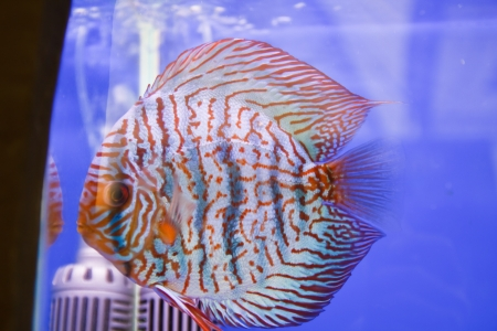 Discus fish Stock Photo - 15501222