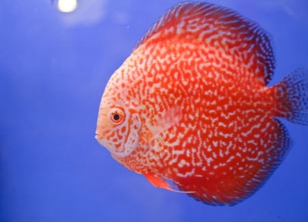 Discus fish Stock Photo - 15501181