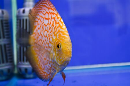Discus fish Stock Photo - 15501183