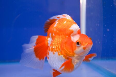 Goldfish in the aquarium  photo