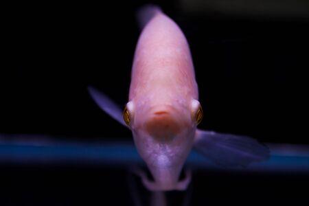 discus fish: Discus fish Stock Photo