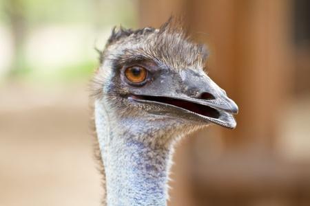 wingless: Closeup shot of a grumpy Emu bird