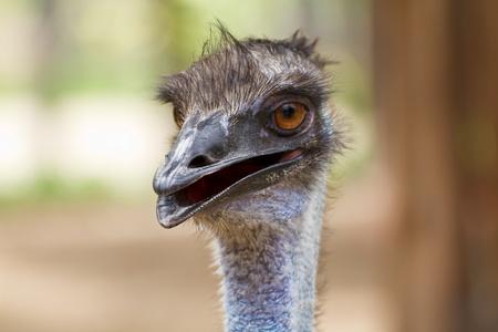 Closeup shot of a grumpy Emu bird Stock Photo - 15326156