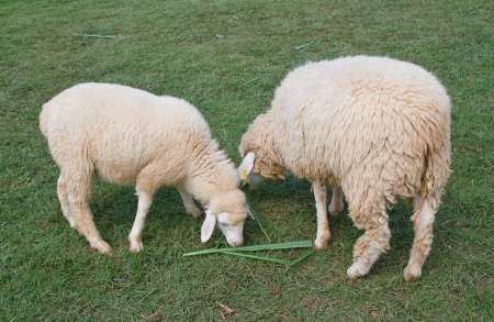 agri: Sheep grazing in a field.