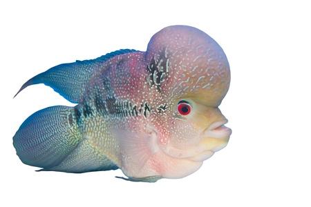 cichlasoma: Flowerhorn Cichlid fish in the aquarium Stock Photo