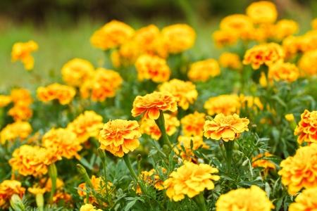 Yellow marigold flower in the garden.