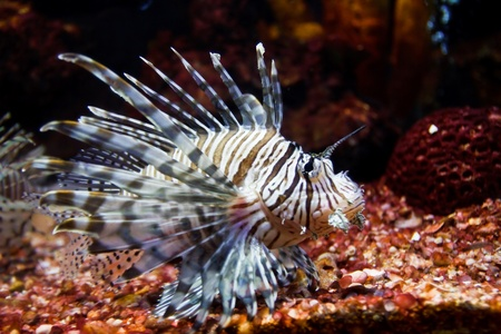 close up of poisonous lion fish photo