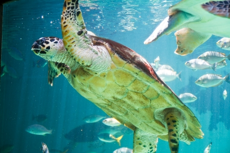 Hawksbill Sea turtle Stock Photo - 17125432