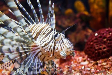 dragonfish: close up of poisonous lion fish Stock Photo