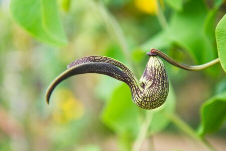 digest: Nepenthes.