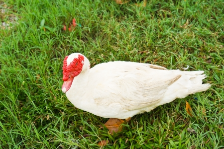Domestic Muscovy Duck Stock Photo - 17886503