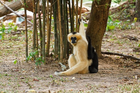 Gibbons is in the zoo photo