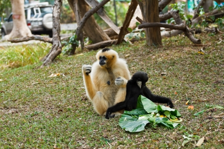 Gibbons est� en el zoo photo