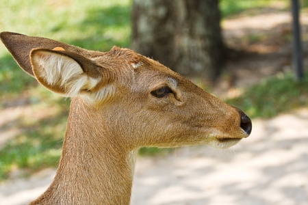 Deer in the zoo  of thailand photo