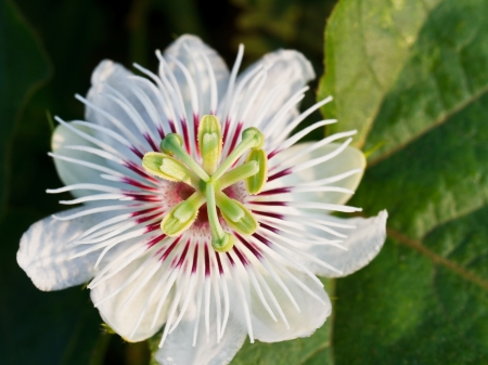 Fetid passionflower photo