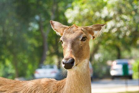 roebuck: Deer in the zoo  of thailand