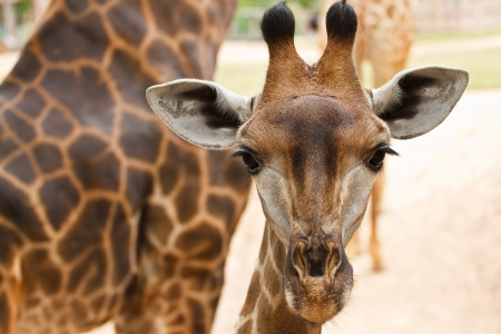 Close up shot of giraffe head photo