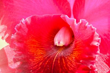 cattleya: Cattleya orchid. Stock Photo