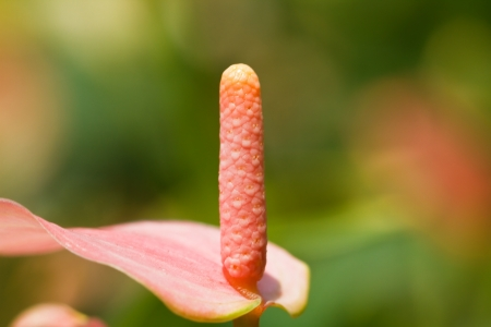 flamingo flower photo