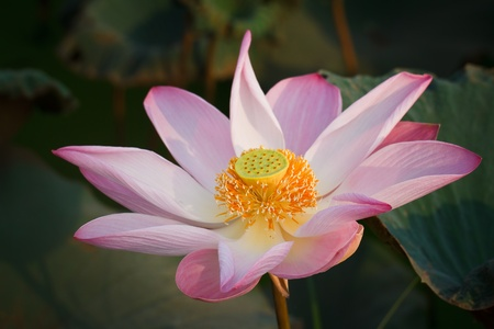 Lotus are blooming  photo