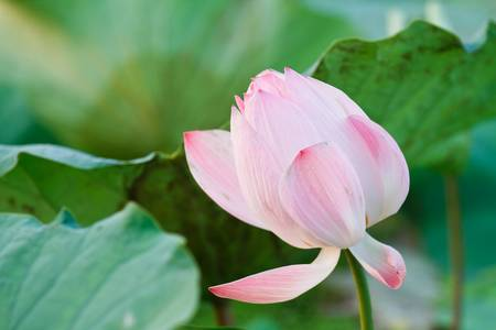 pink lotus flowers photo