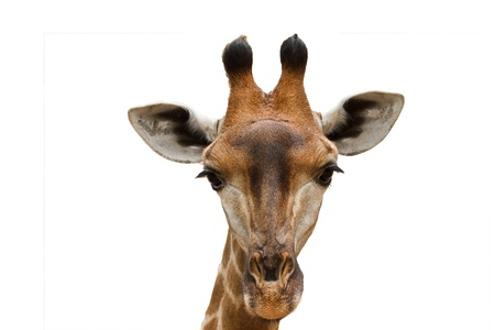big eyes: Close up shot of giraffe head