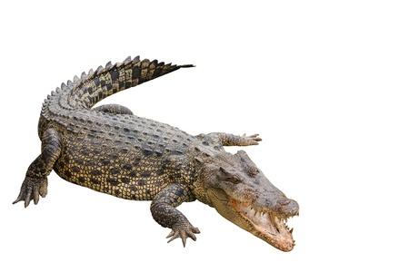 niloticus: Crocodile