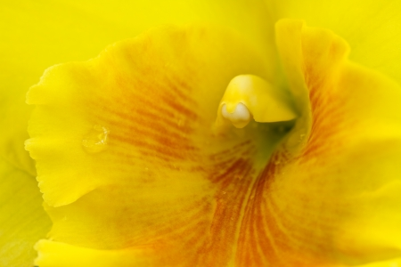 cattleya: Cattleya yellow