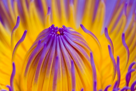 Purple lotus Stock Photo - 21107363