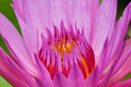 Purple lotus Stock Photo - 21107369