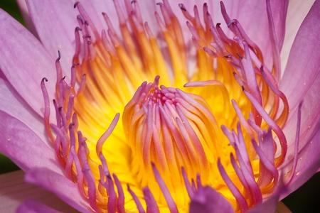 Purple lotus Stock Photo - 21613070