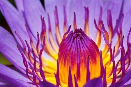 Purple lotus Stock Photo - 21886971