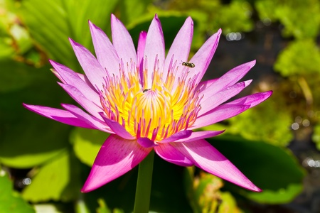 Purple lotus Stock Photo - 21886974