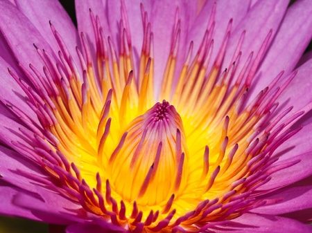 Purple lotus photo